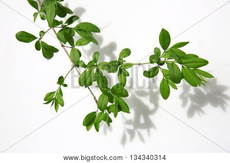 Twig of tree isolated on white