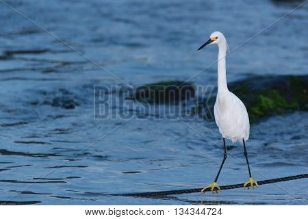 White egret resting in a rope after fishing