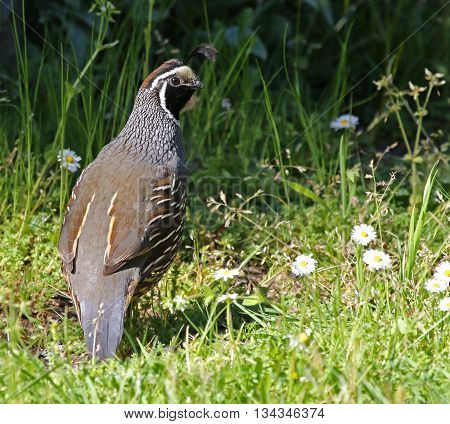 A male California Quail (Callipepla californica) looking back at the camera. Shot on Gabriola Island British Columbia Canada.
