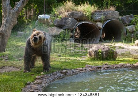 grizzly bear shakes water after a swim in the lake