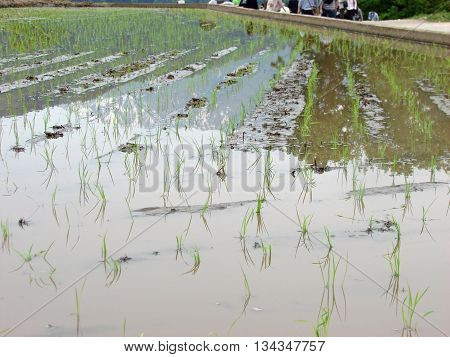Lines of recently planted rice in a field