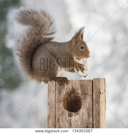 red squirrel on birdhouse with egg in sun light