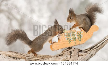 red squirrels with sledge and eggs on tree trunk