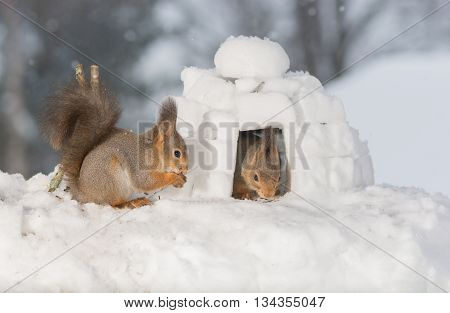 red squirrels in snow with igloo and camp fire
