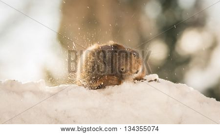 red squirrel in snow with itch in sun light