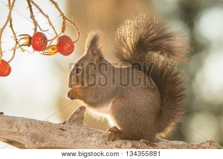 close up of red squirrel on tree trunk and brier