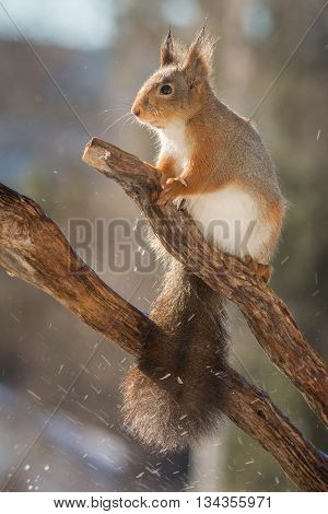 red squirrel on branch with splashing water