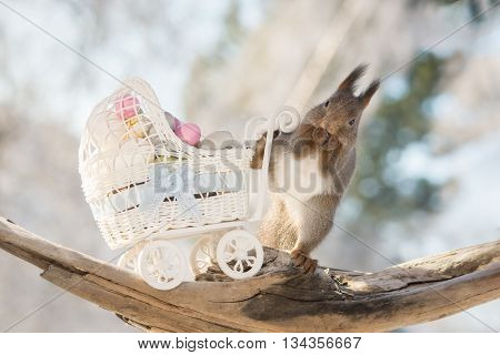 red squirrels with stroller and eggs in sun light