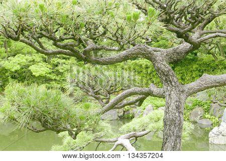 Japanese Pinus Thunbergii Pine Tree