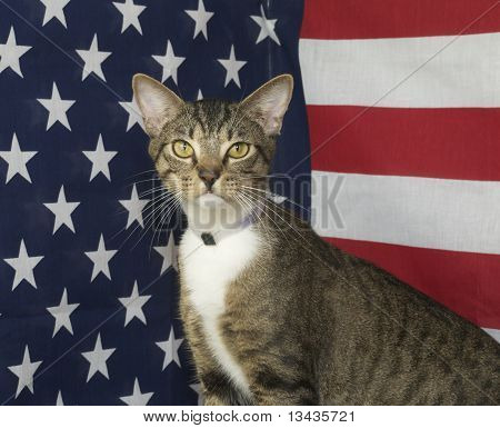 Mixed Breed American Flag Cat