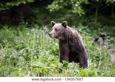 Brown bear in wilderness. Male brown bear.