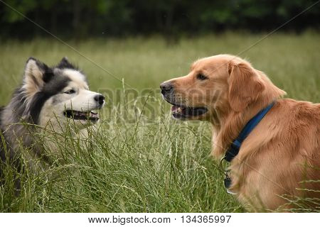 Two large dogs meet in a long grass field