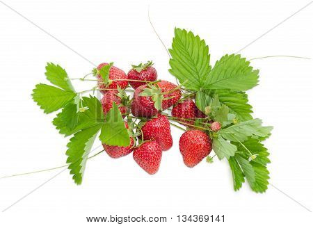 Several garden strawberry fruit with leaves stems and flowers and some stems with fruit of wild strawberry on a light background