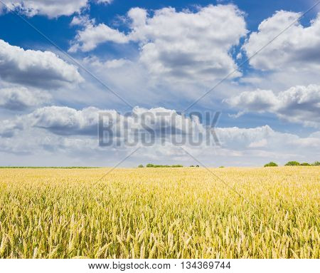 Ripening wheat on a field against the sky with clouds in summer day