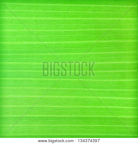 The green banana leaf nature pattern background abstract