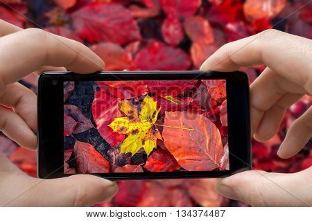 Man Is Taking Photo Of Yellow Leaf With Smartphone In Autumn.