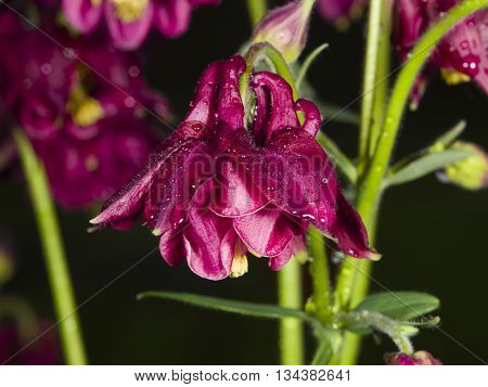 Dark Red flower with raindrops of European or Common columbine Aquilegia vulgaris close-up selective focus shallow DOF