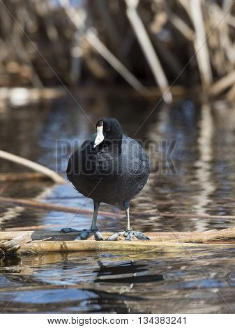 An American Coot standing in a wetland