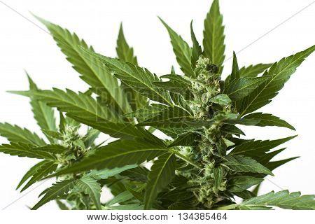 green marijuana flower blossom and leaves detail