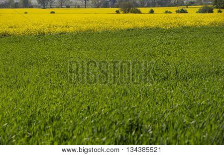Spring is on! Blooming yellow rapeseed field