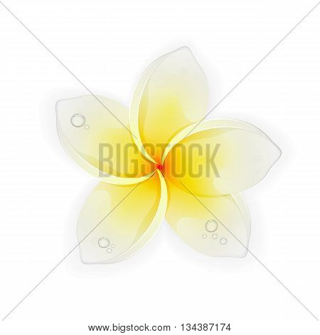 Frangipani flower with drops isolated on white background, beautiful Hawaiian white yellow plumeria, illustration.