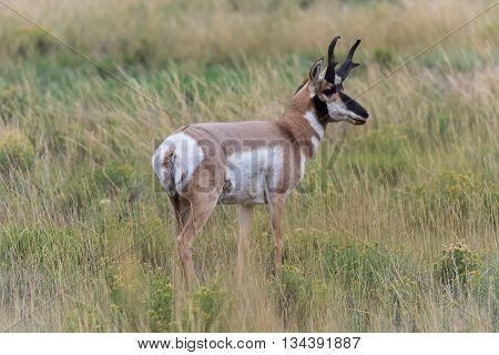 Baby Deer At Yellowstone National Park,  Usa