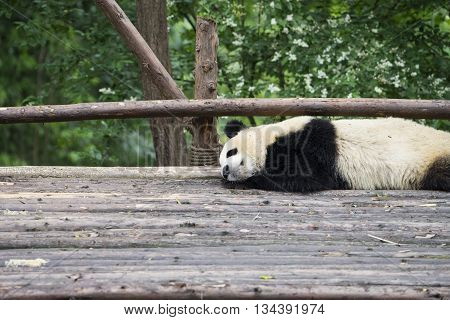 Giant panda bear sleep in Chengdu China