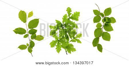 Fresh leaves on white background.Tree branch isolated.Three tree branches.