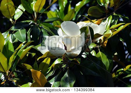 White flowers of magnolia grandiflora among green foliage
