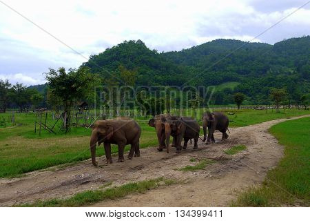 A small herd of elephants walk through the Northern Thai countryside