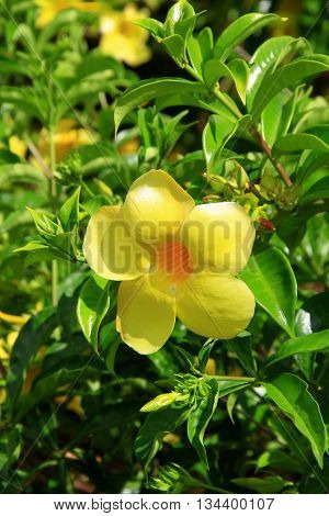A YELLOW FLOWER IN MAURITIUS ISLAND ,