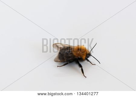 Bumblebee close up on a white background Photographed