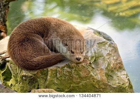 Weasel resting on a stone in the wild