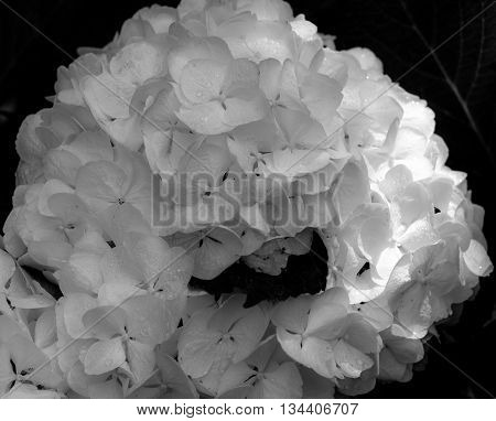 Hydrangea macrophylla Hortensia white flowers. Black and white