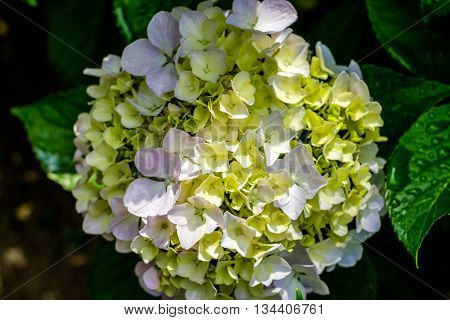 Hydrangea macrophylla Hortensia green and pink flower