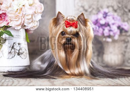 Yorkshire Terrier Dog with long groomed Hair Lying