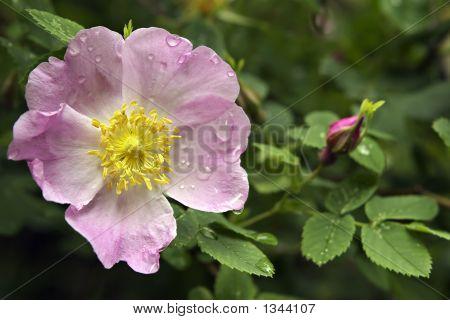 schöne Blume rose mit nassen Blütenblätter