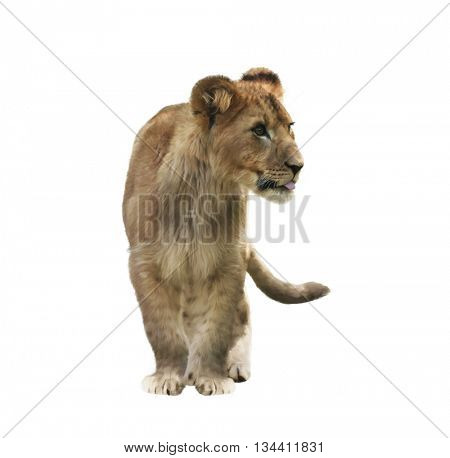 Digital Painting of Lion Cub isolated on white background
