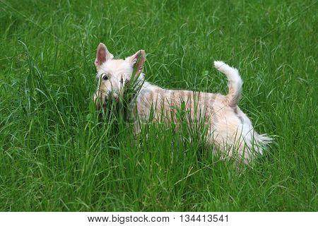 Wheaten Scottish Terrier Dog - walks in green grass