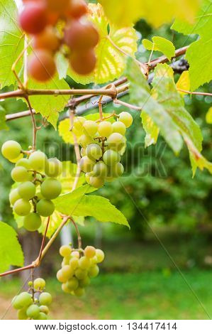 Bunch Of Grapes Ripen On A Brunch