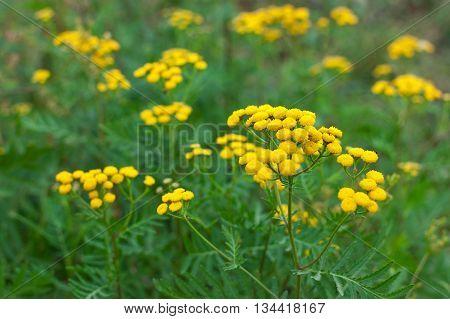Tansy Tanacetum Vulgare Plant