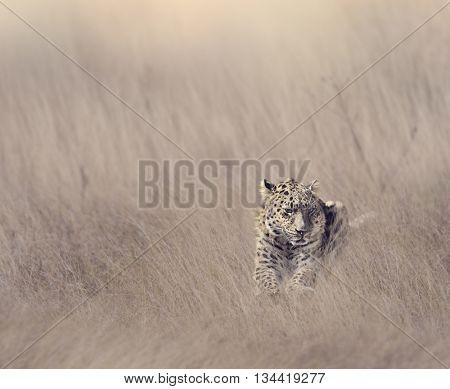 Leopard Resting in Tall Grass