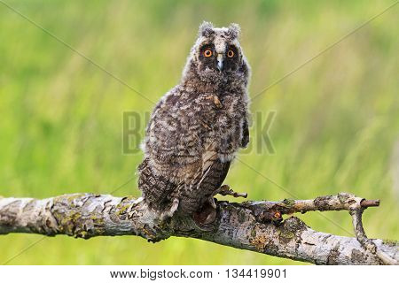 little owlet sitting on a branch, the younger generation, a night bird