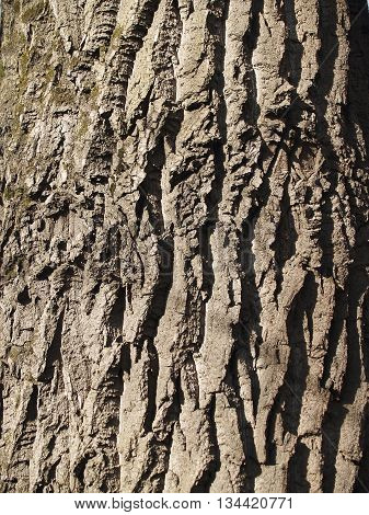 The beautiful bark of tree with deep crinkles and green moss