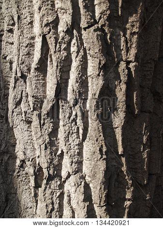 The beautiful bark of tree with deep crinkles sunlit
