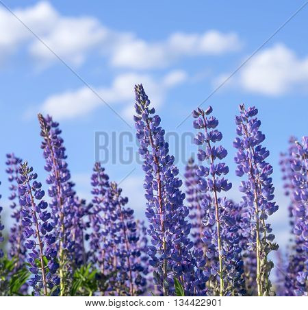 Blooming lupine against the blue sky with clouds