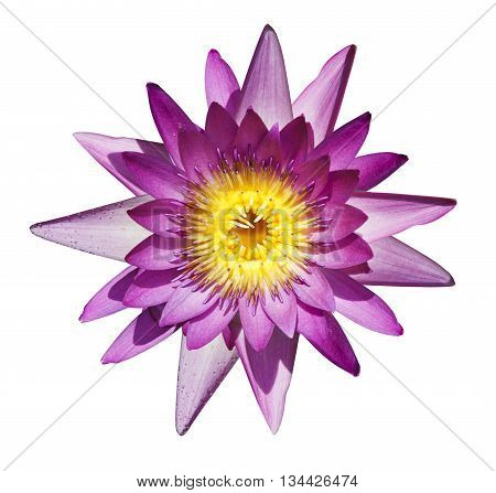 Beautiful purple waterlily or lotus flower isolate on white background.