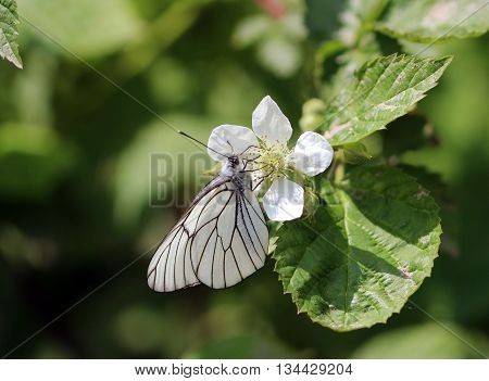 White Butterfly Pieris brassicae on a flower, summer