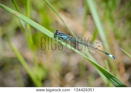 The Blue Ischnura Elegans also called blue-tailed damselfly is a Damselfly or a Zygoptera from the order Odonata