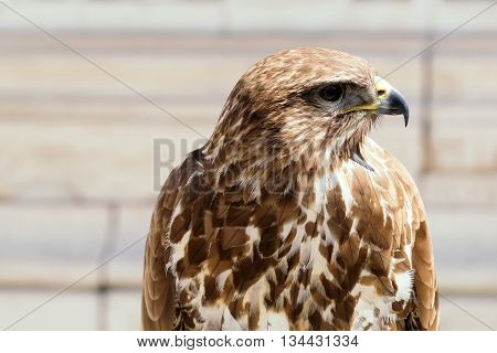 Beautiful Eagle Bird Closeup